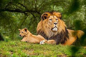 Totemdieren leeuw